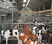 Veal calves on KRAIBURG KURA S slatted floor covering made of rubber, Wilger operation
