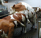 Mounting of dairy cows - unrestricted behaviour during oestrus on rubber flooring