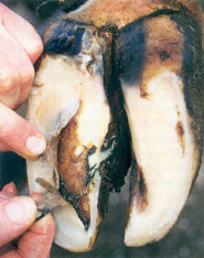 double soule caused by laminitis