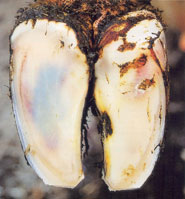 Laminitis: yellowish red spots in the sole area