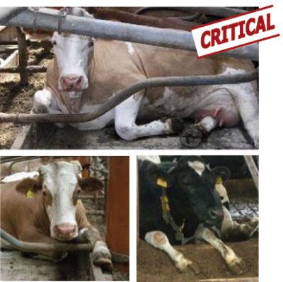 unsuitable brisket board can hurt cows
