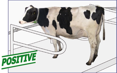 good standing comfort in the cubicle: cow stands with 4 legs in the cubicle