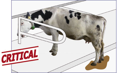 neck rail hinders cow from standing in the cubicle: cow stands with hind legs in the dirty walkin alley
