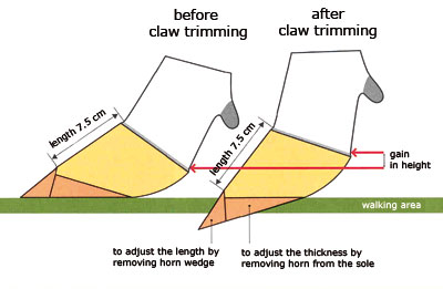 correct claw form prevents infectious claw diseases