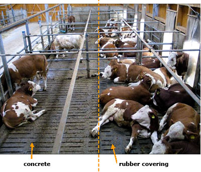 fattening bulls prefer rubber in comparison to concrete floor