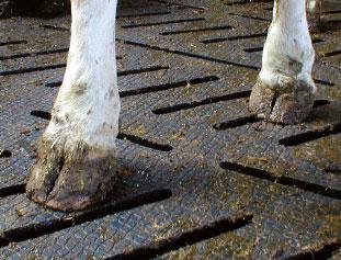 claw health of dairy cattle enhances longevity