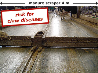 without elevated feedstalls the cows have to stand on the walking alley during eating, so the risk for claw diseases is higher