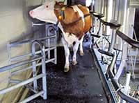 renovated milking parlour with KRAIBURG KURA rubber flooring