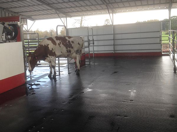 KRAIBURG KARERA, the basic rubber flooring for paved/concrete areas in the cattle house