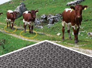 cattle choose soft floor