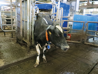 walking alley with elastic KRAIBURG rubber flooring at Triebtal farm, Germany, with milking robot