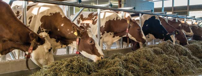 dairy cows eating at the feeding table - feeding supervision is very important