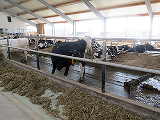 KRAIBURG KURA P walking alley flooring made of rubber in the dairy cow cubicle house, Agricultural Company Prösen, Germany