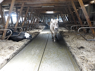 KRAIBURG KURA P walking alley flooring made of rubber in the dairy cow cubicle house, Beat Horber, Switzerland