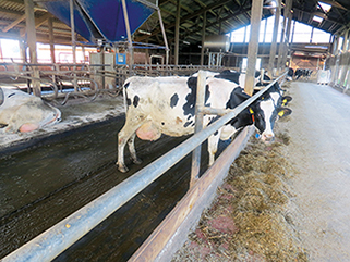 KRAIBURG KURA P walking alley flooring made of rubber in the dairy cow cubicle house, Henning Böse, Germany