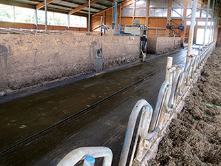 KRAIBURG KURA P walking alley flooring made of rubber in the dairy cow cubicle house, Laabs farm, Germany since 2003