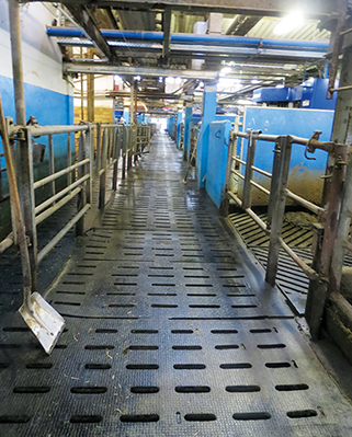 KRAIBURG KURA S slatted floor covering made of rubber in the dairy cow cubicle house, Milchgut Triebtal, Germany