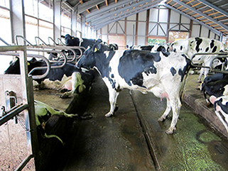 KRAIBURG KURA P walking alley flooring made of rubber in the dairy cow cubicle house, since 2003, Michael Gemmer, Germany