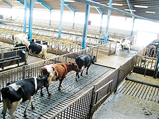 KRAIBURG KURA S slatted floor covering made of rubber in the dairy cow cubicle house, since 2002, Kartop farm, Skara, Sweden, cows prefer rubber