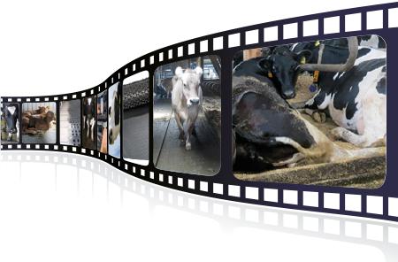 Videos über KRAIBURG Stallgummimatten im Milchviehstall in der praktischen Anwendung, über Produktion und Qualität