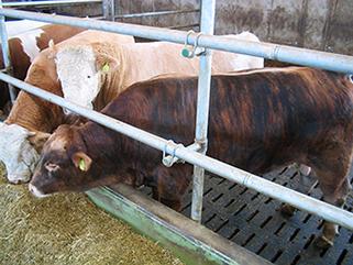 KRAIBURG LOSPA swiss slatted floor covering made of rubber for fattening bulls, Oliver Engeli, Switzerland