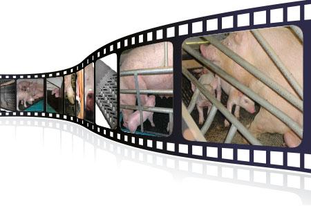 Videos über KRAIBURG Stallgummimatten für die Schweinehaltung in der praktischen Anwendung