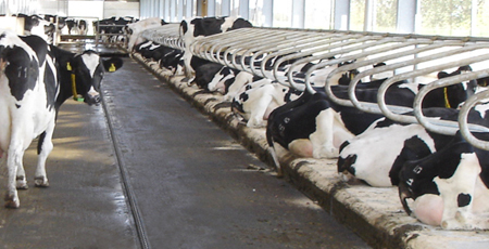 Elastic rubber floorings for special ares in dairy cow houses